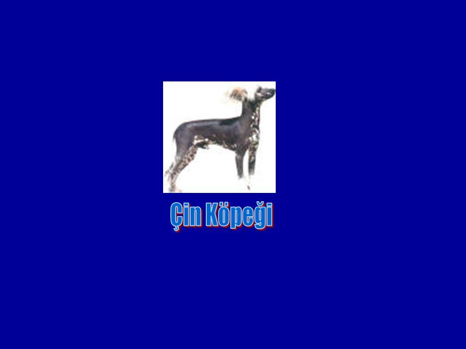 Çin Köpeği