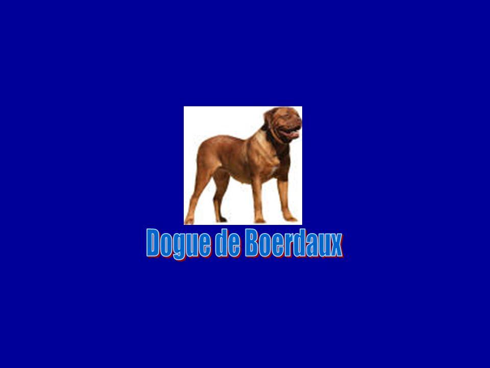 Dogue de Boerdaux