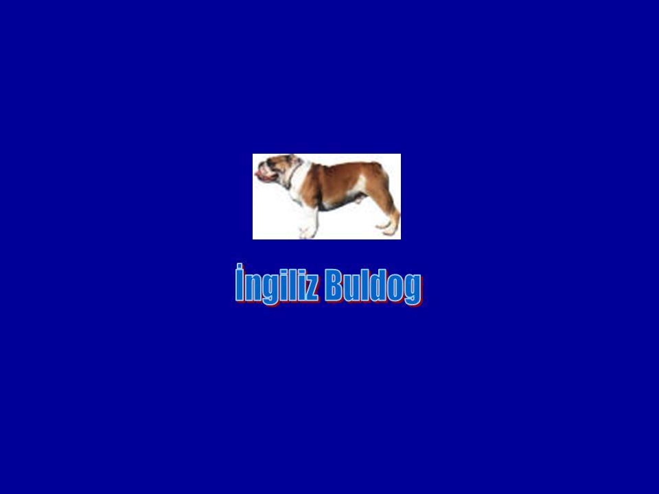 İngiliz Buldog