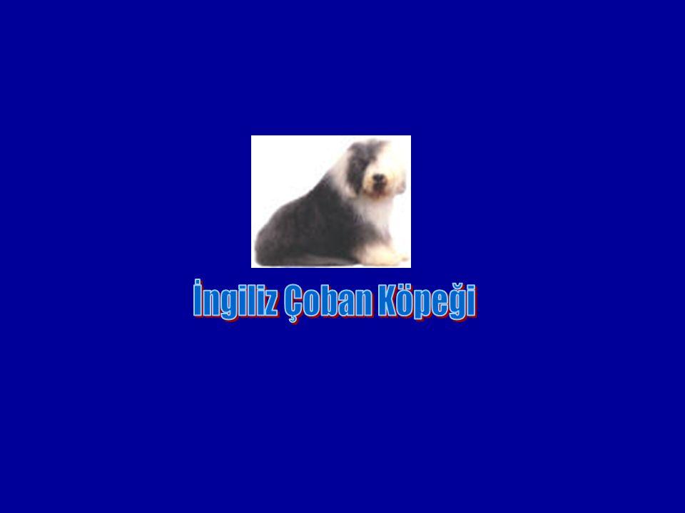 İngiliz Çoban Köpeği
