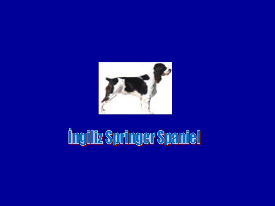 İngiliz Springer Spaniel