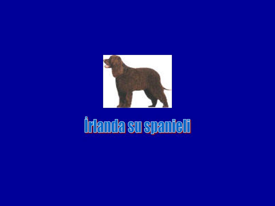 İrlanda su spanieli