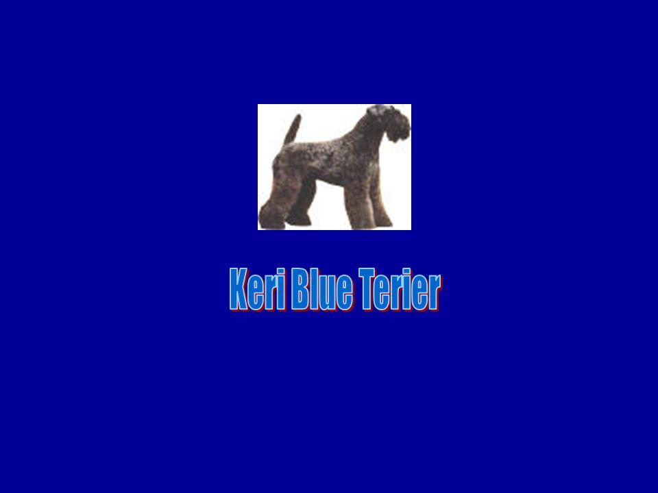 Keri Blue Terier