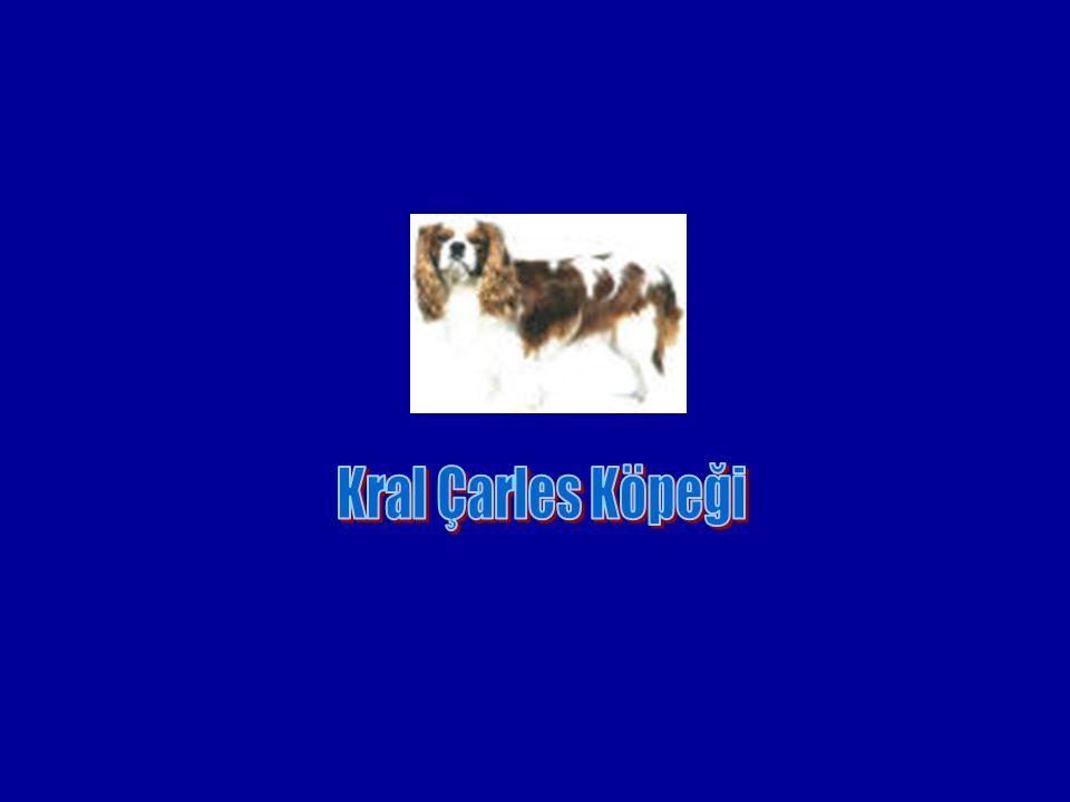 Kral Çarles Köpeği
