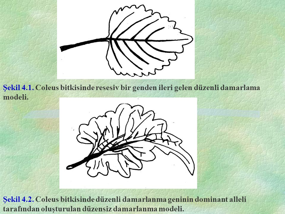 Şekil 4.1. Coleus bitkisinde resesiv bir genden ileri gelen düzenli damarlama modeli.