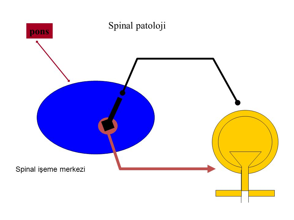 Spinal patoloji pons Spinal işeme merkezi
