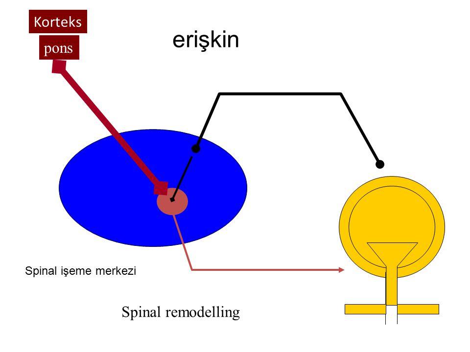 Korteks erişkin pons Spinal işeme merkezi Spinal remodelling