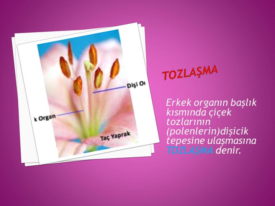 tozlaşma Erkek organın başlık kısmında çiçek tozlarının (polenlerin)dişicik tepesine ulaşmasına TOZLAŞMA denir.