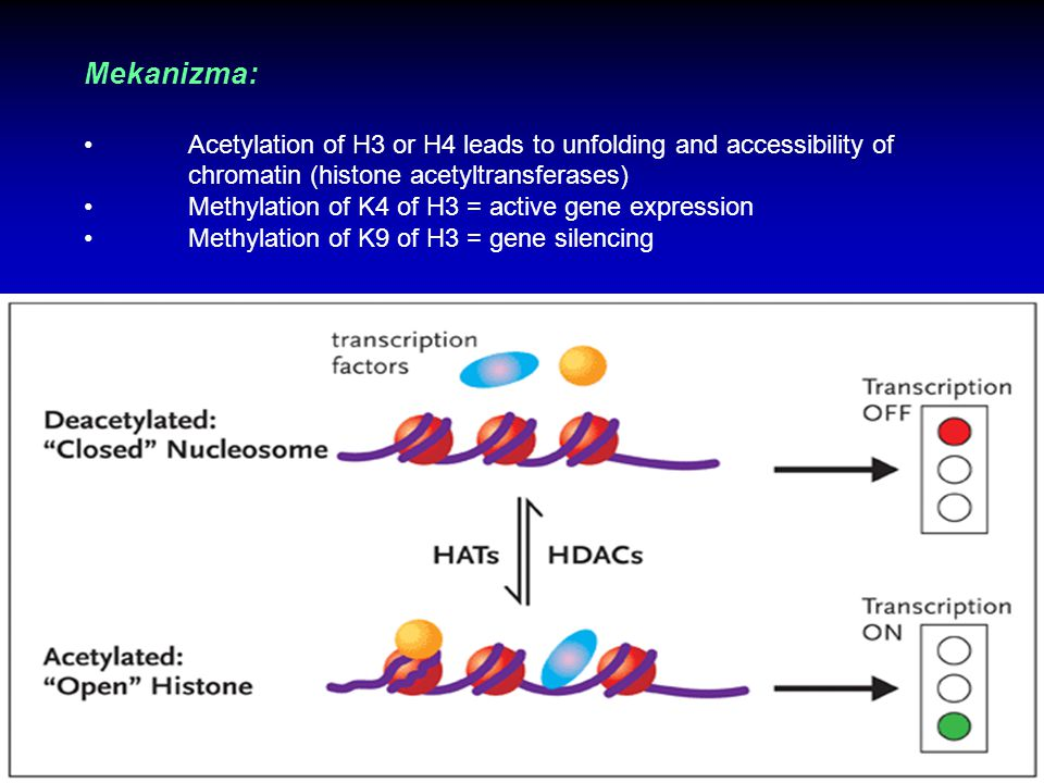 Mekanizma: Acetylation of H3 or H4 leads to unfolding and accessibility of chromatin (histone acetyltransferases)
