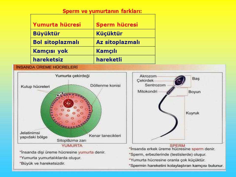 Sperm ve yumurtanın farkları: