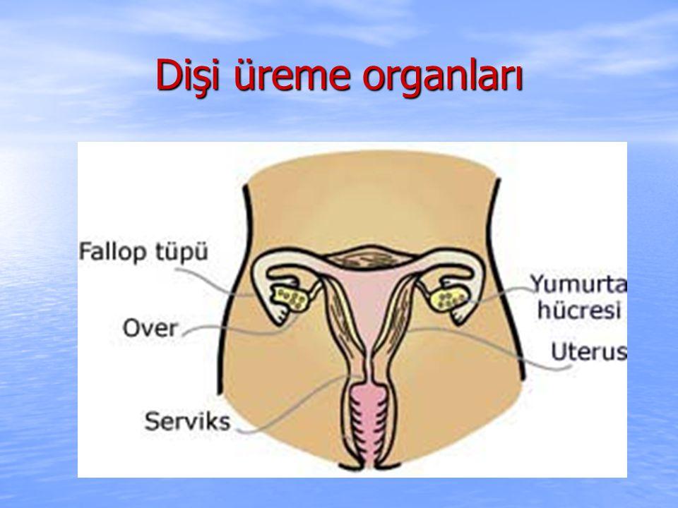 Dişi üreme organları