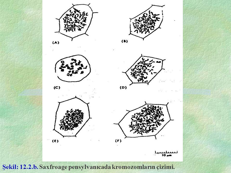 Şekil: 12.2.b. Saxfroage pensylvanıcada kromozomların çizimi.