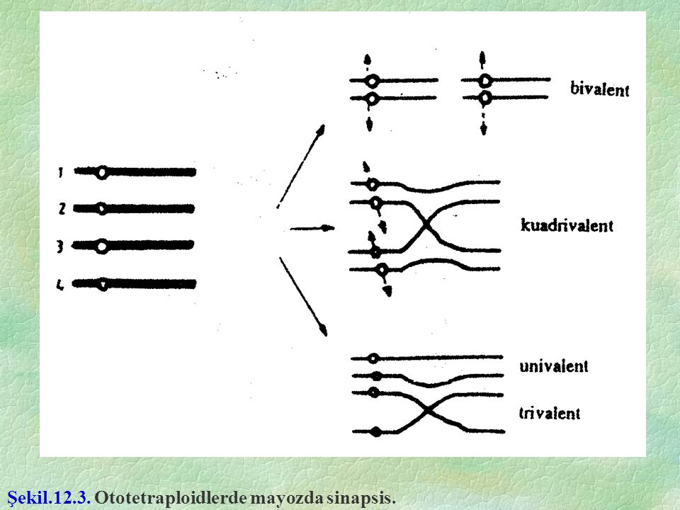 Şekil.12.3. Ototetraploidlerde mayozda sinapsis.