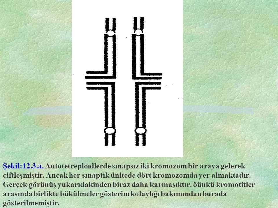 Şekil:12.3.a. Autotetreploıdlerde sınapsız iki kromozom bir araya gelerek çiftleşmiştir.