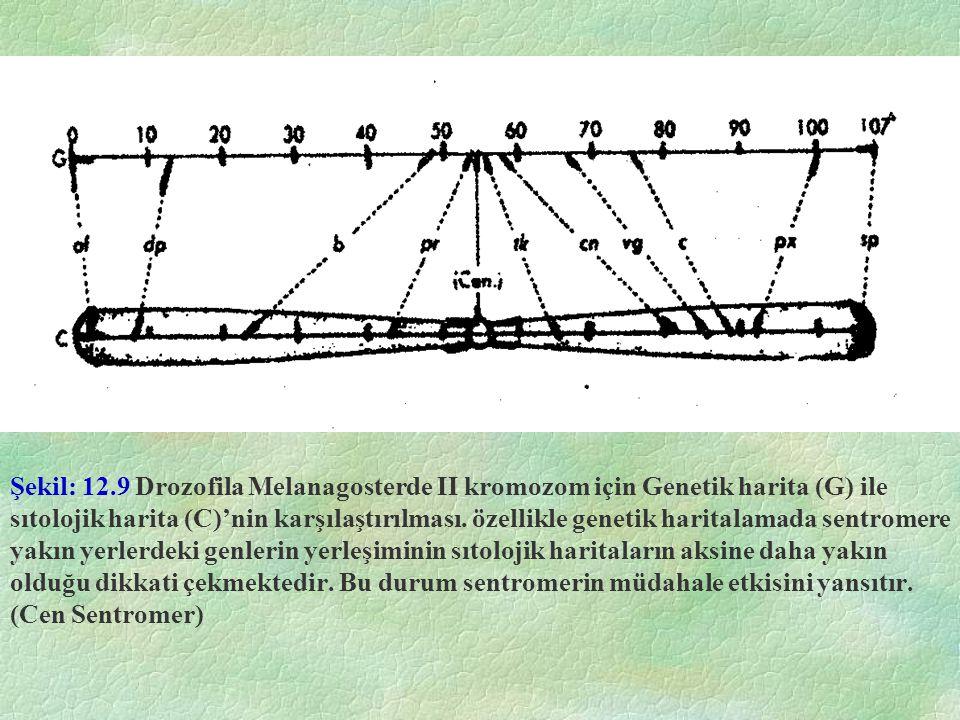 Şekil: 12.9 Drozofila Melanagosterde II kromozom için Genetik harita (G) ile sıtolojik harita (C)'nin karşılaştırılması.