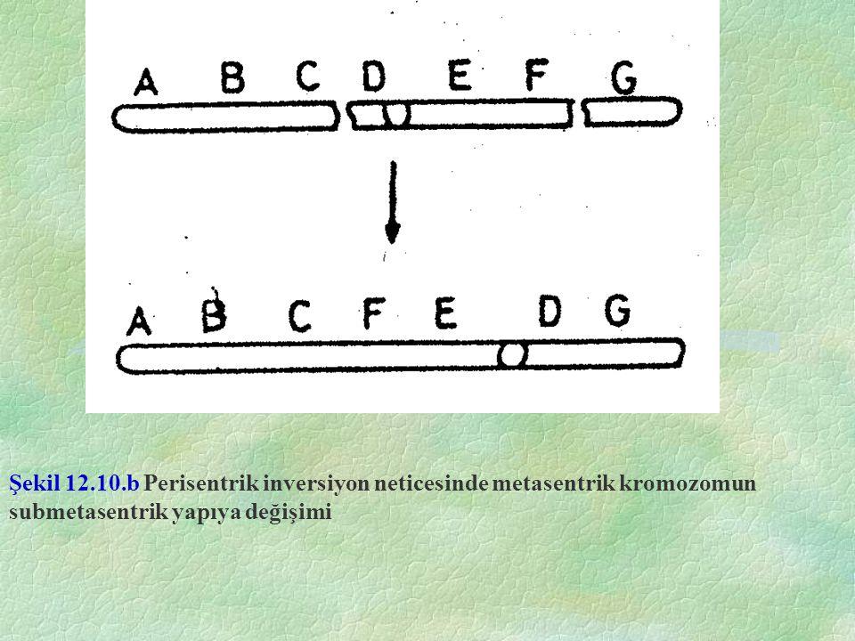 Şekil 12.10.b Perisentrik inversiyon neticesinde metasentrik kromozomun submetasentrik yapıya değişimi