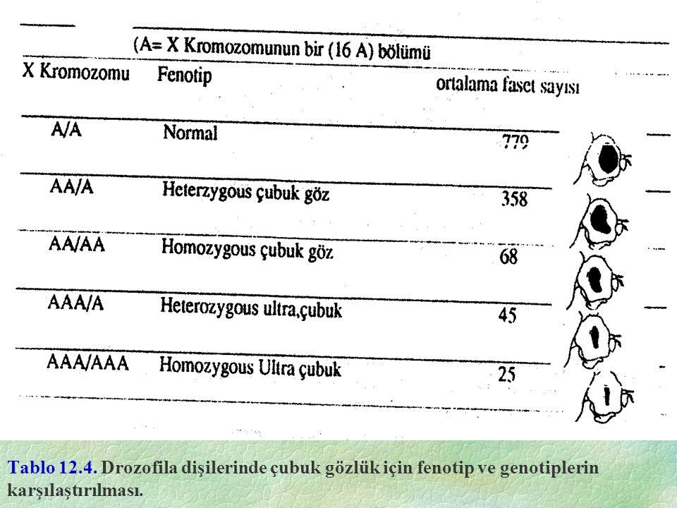 Tablo 12.4. Drozofila dişilerinde çubuk gözlük için fenotip ve genotiplerin karşılaştırılması.