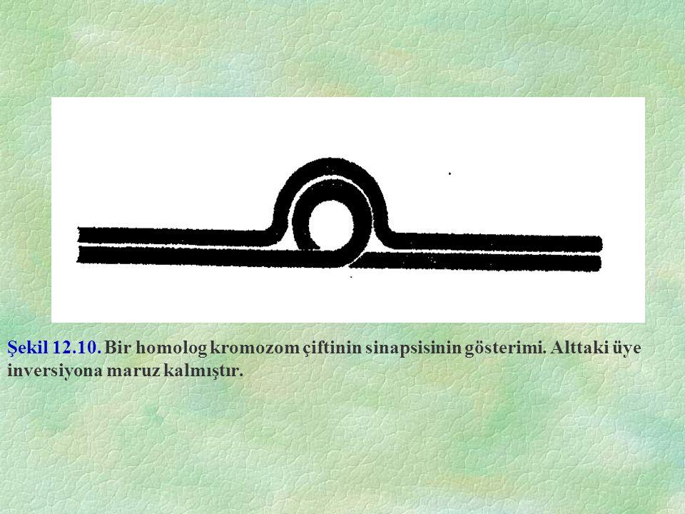 Şekil 12. 10. Bir homolog kromozom çiftinin sinapsisinin gösterimi