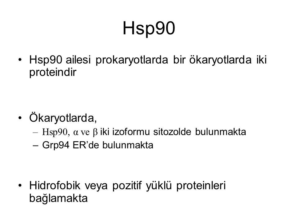 Hsp90 Hsp90 ailesi prokaryotlarda bir ökaryotlarda iki proteindir