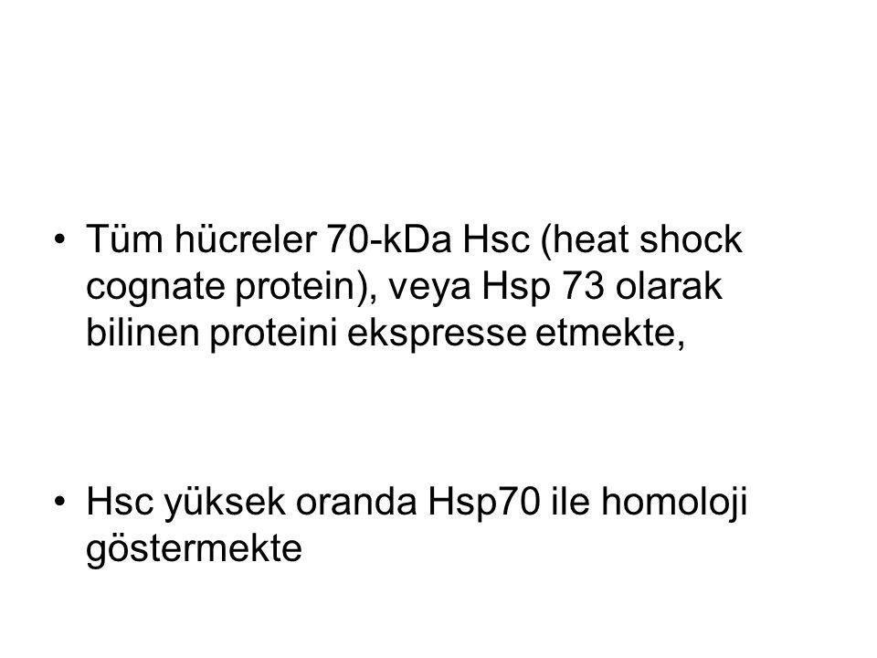 Tüm hücreler 70-kDa Hsc (heat shock cognate protein), veya Hsp 73 olarak bilinen proteini ekspresse etmekte,
