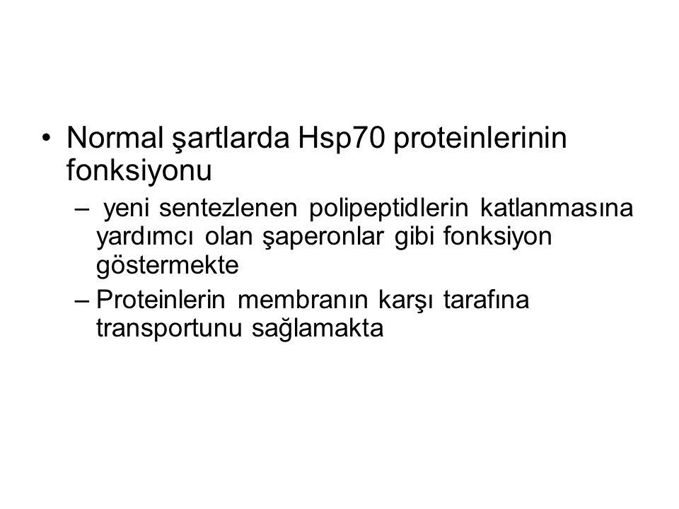 Normal şartlarda Hsp70 proteinlerinin fonksiyonu