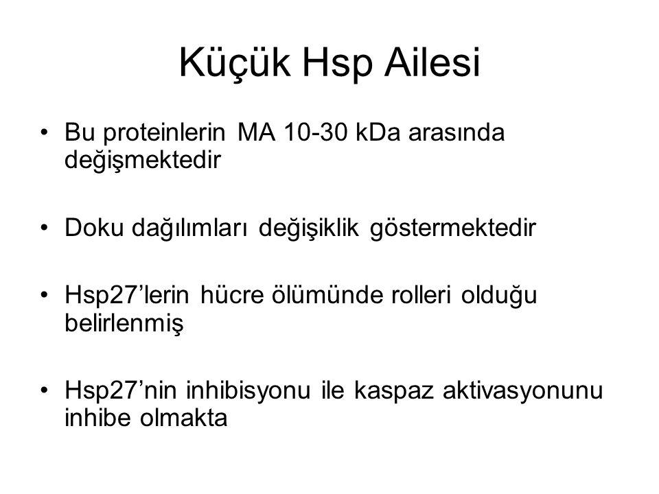 Küçük Hsp Ailesi Bu proteinlerin MA 10-30 kDa arasında değişmektedir
