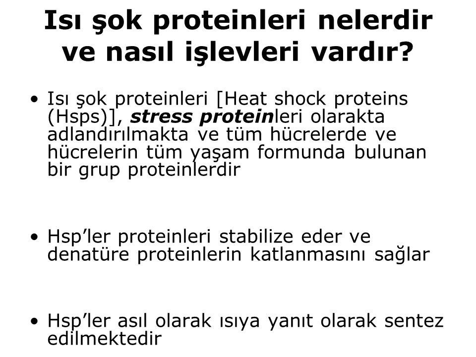 Isı şok proteinleri nelerdir ve nasıl işlevleri vardır