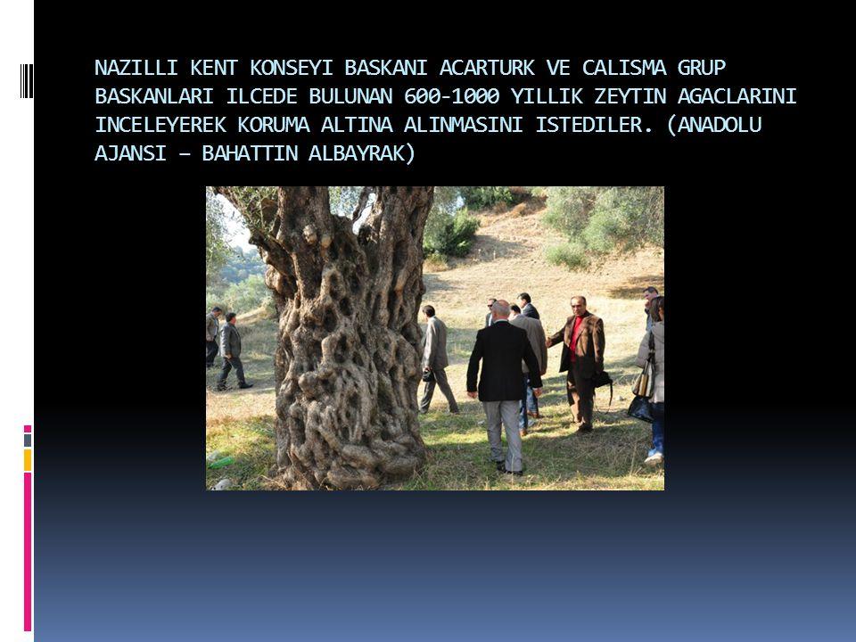 NAZILLI KENT KONSEYI BASKANI ACARTURK VE CALISMA GRUP BASKANLARI ILCEDE BULUNAN 600-1000 YILLIK ZEYTIN AGACLARINI INCELEYEREK KORUMA ALTINA ALINMASINI ISTEDILER.