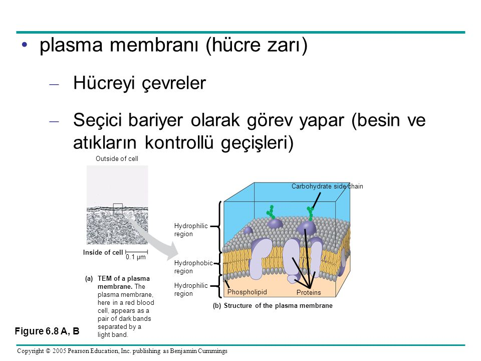 (b) Structure of the plasma membrane