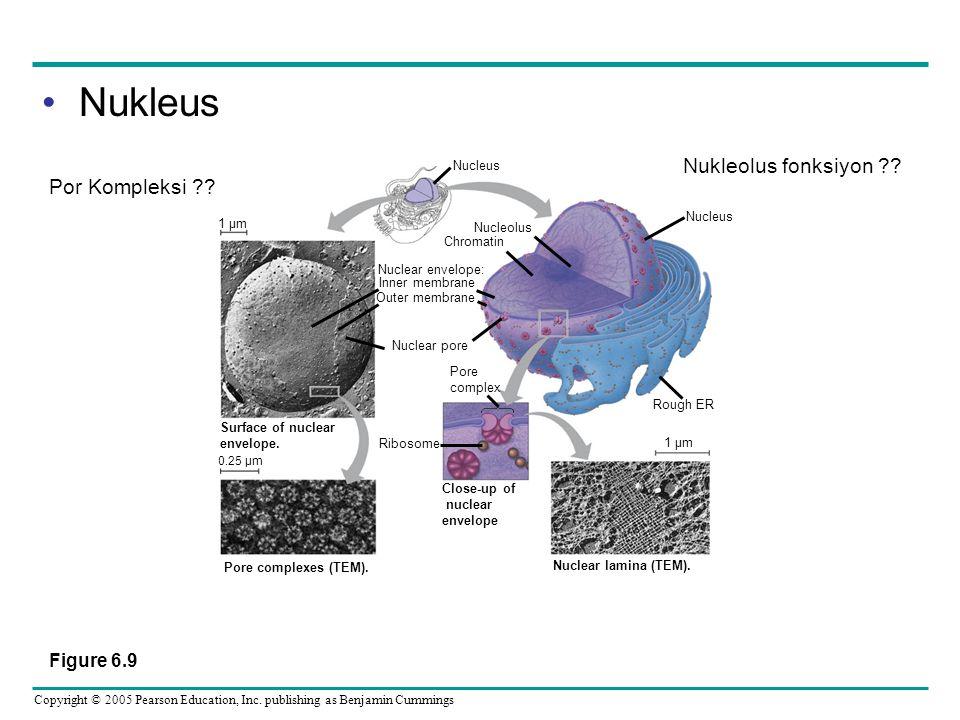 Nukleus Nukleolus fonksiyon Por Kompleksi Figure 6.9 Nucleus