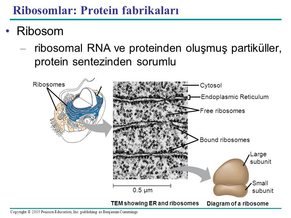Ribosomlar: Protein fabrikaları
