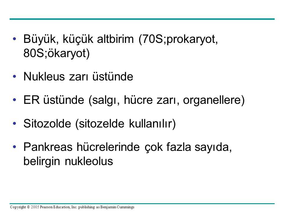 Büyük, küçük altbirim (70S;prokaryot, 80S;ökaryot)