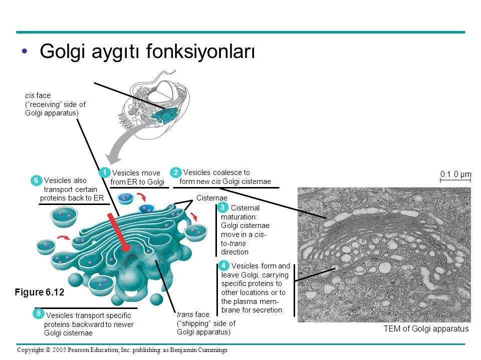 Golgi aygıtı fonksiyonları