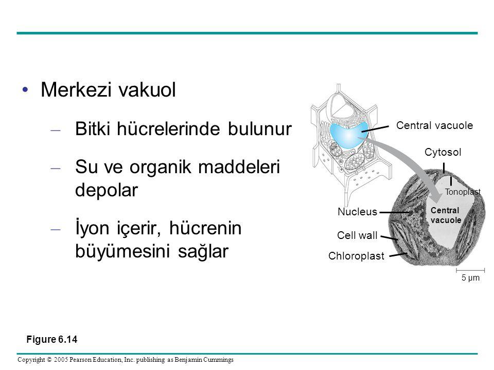 Merkezi vakuol Bitki hücrelerinde bulunur