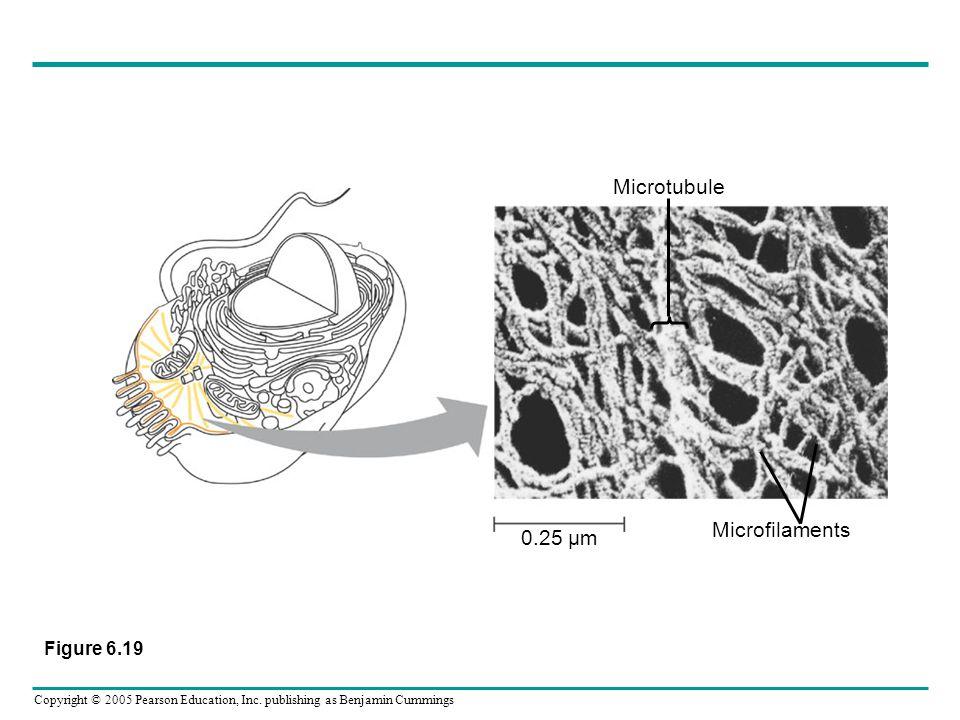 Microtubule 0.25 µm Microfilaments Figure 6.19