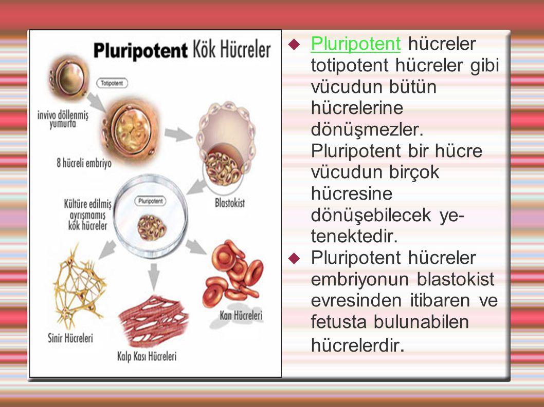 Pluripotent hücreler totipotent hücreler gibi vücudun bütün hücrelerine dönüşmezler. Pluripotent bir hücre vücudun birçok hücresine dönüşebilecek ye-tenektedir.