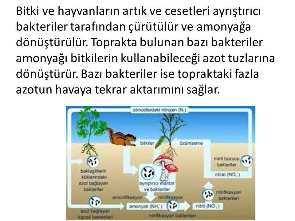 Bitki ve hayvanların artık ve cesetleri ayrıştırıcı bakteriler tarafından çürütülür ve amonyağa dönüştürülür.