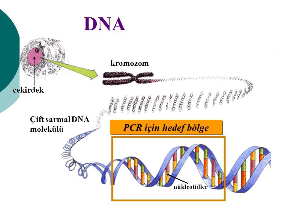 DNA PCR için hedef bölge kromozom çekirdek Çift sarmal DNA molekülü