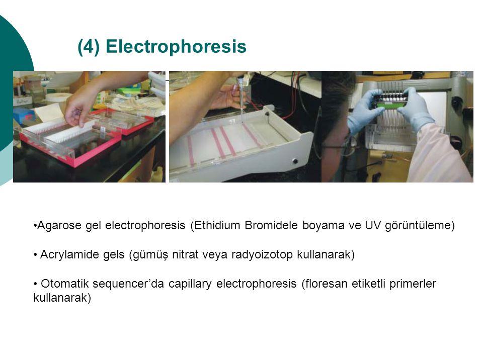 (4) Electrophoresis •Agarose gel electrophoresis (Ethidium Bromidele boyama ve UV görüntüleme)
