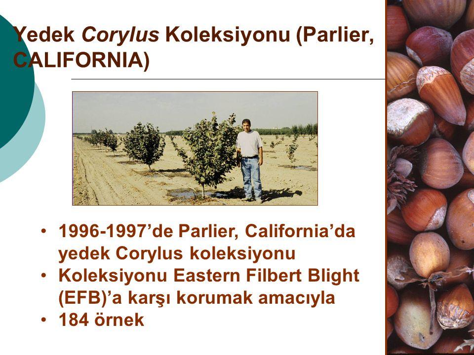 Yedek Corylus Koleksiyonu (Parlier, CALIFORNIA)