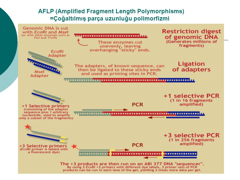 AFLP (Amplified Fragment Length Polymorphisms) =Çoğaltılmış parça uzunluğu polimorfizmi