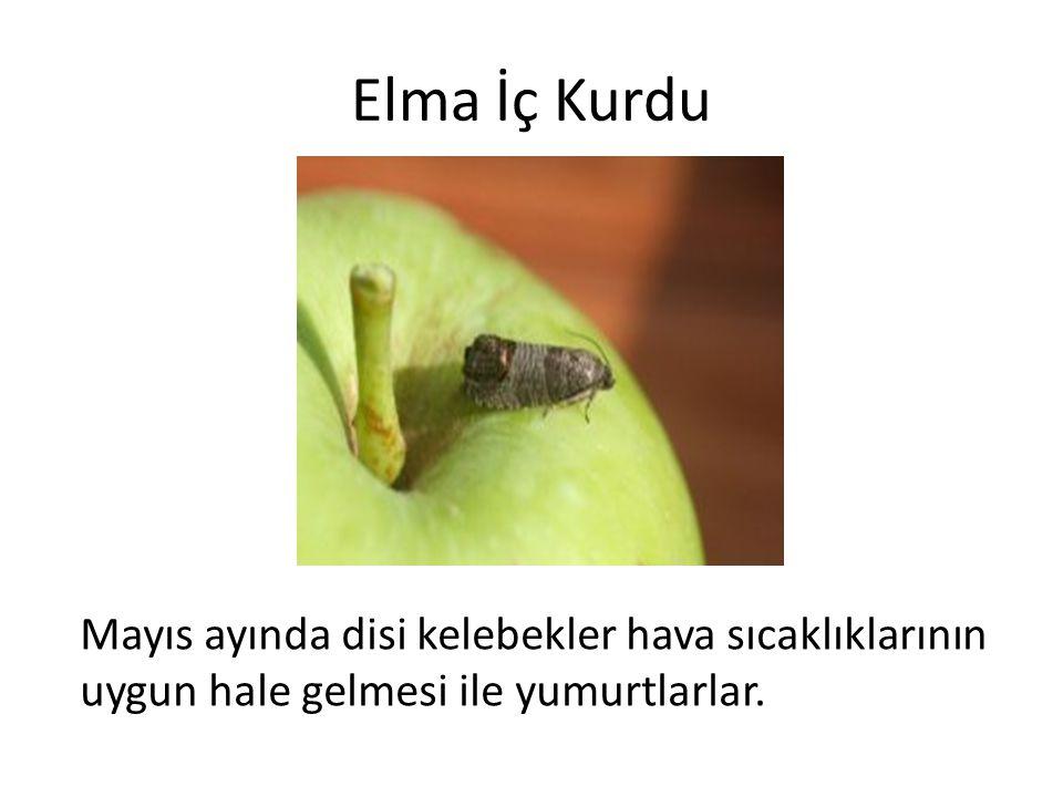 Elma İç Kurdu Mayıs ayında disi kelebekler hava sıcaklıklarının uygun hale gelmesi ile yumurtlarlar.