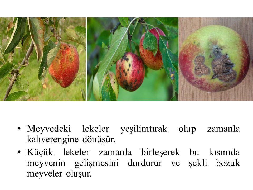 Meyvedeki lekeler yeşilimtırak olup zamanla kahverengine dönüşür.