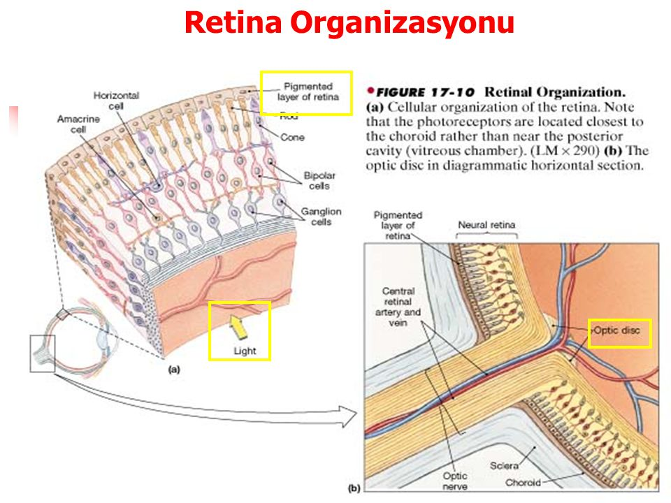 Retina Organizasyonu