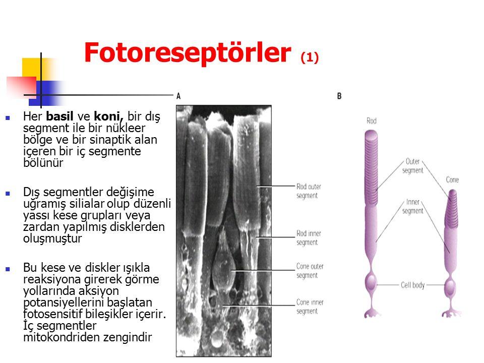 Fotoreseptörler (1) Her basil ve koni, bir dış segment ile bir nükleer bölge ve bir sinaptik alan içeren bir iç segmente bölünür.