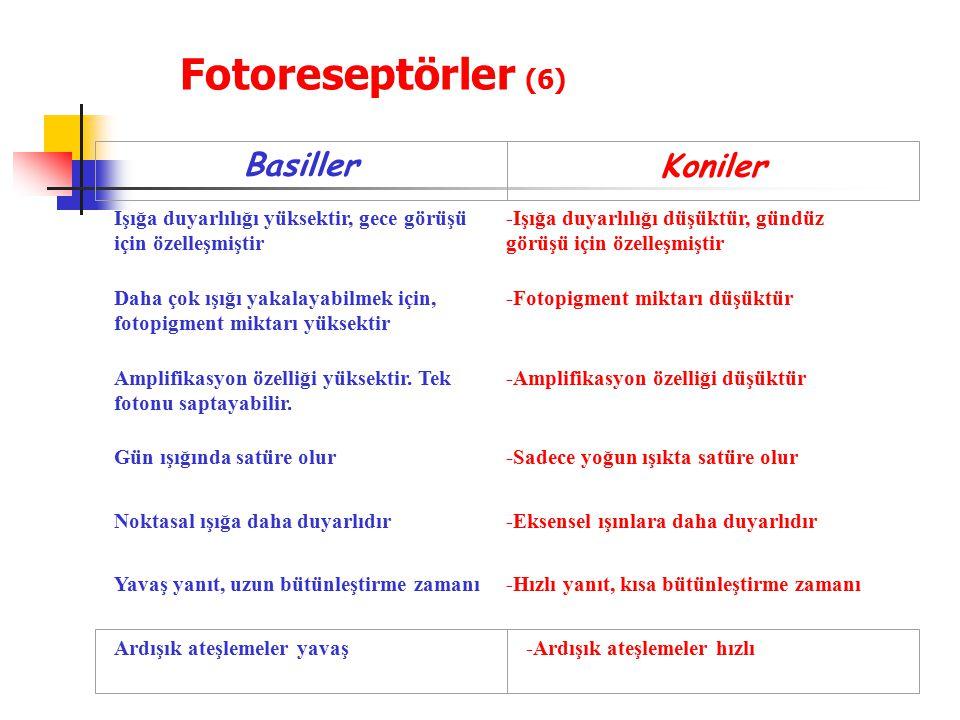 Fotoreseptörler (6) Basiller Koniler