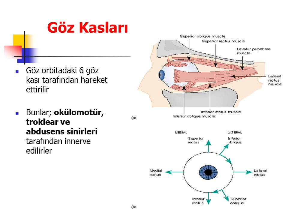Göz Kasları Göz orbitadaki 6 göz kası tarafından hareket ettirilir