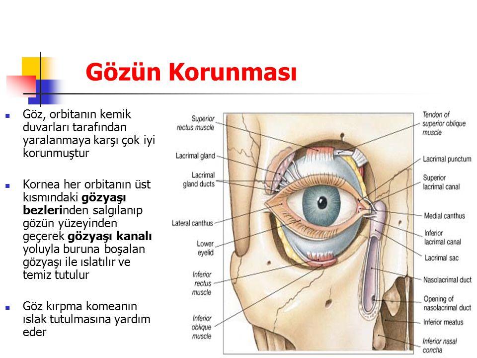 Gözün Korunması Göz, orbitanın kemik duvarları tarafından yaralanmaya karşı çok iyi korunmuştur.