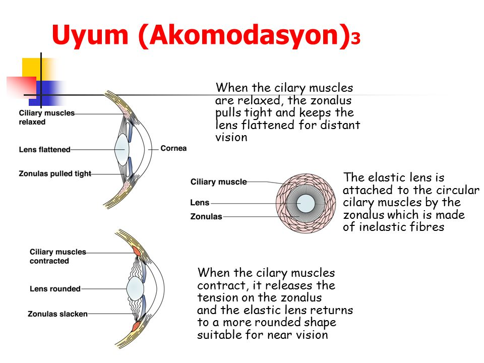 Uyum (Akomodasyon)3 When the cilary muscles are relaxed, the zonalus
