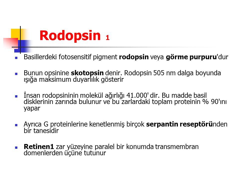 Rodopsin 1 Basillerdeki fotosensitif pigment rodopsin veya görme purpuru dur.